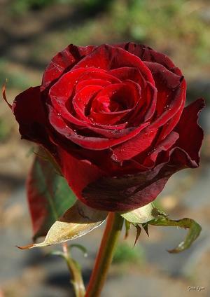 Bordó bársonyos rózsa