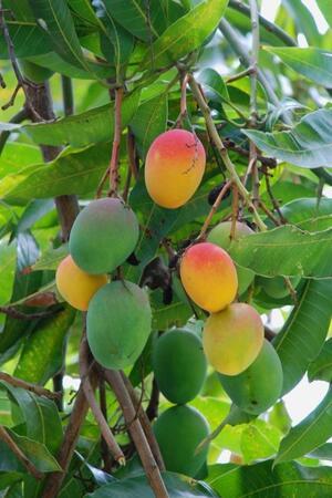 mango-fa